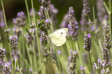 Butterfly Cabbage on lavender