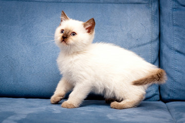 Cute chocolate color point British kitten with blue eyes stands tall on a blue background, white British kitten with chocolate spots, chocolate color point color British kitten