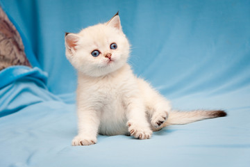 Little cute British kitten color point color with blue eyes funny sitting on blue background, funny white British kitten