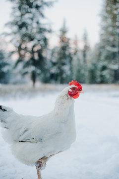 A white Delaware hen in the snow