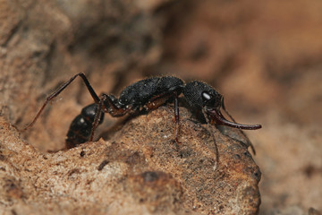 An exotic ant species with large mandibles found in South and Southeast Asia. It is occurring in northern India and parts of Burma. Stinging insect on a close up horizontal picture.