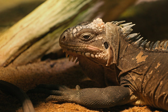 Lesser Antillean iguana, a critically endangered large arboreal lizard endemic to the Lesser Antilles.