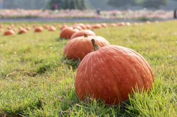 Fresh orange pumpkin with dew drop on the green grass.