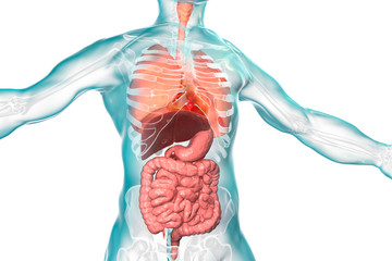 Human body anatomy, respiratory and digestive system
