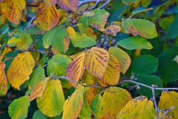 Orange and golden foliage of witch hazel hamamelis shrub in autumn