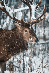 Wall Mural - Noble deer male in the  winter snow forest. Artistic winter christmas landscape. Winter wonderland.