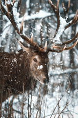 Fototapete - Noble deer male in the  winter snow forest. Artistic winter christmas landscape. Winter wonderland.