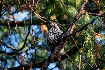 Spotted nutcracker sitting on branch of tree. Northern beautiful crow. Bird in wildlife.