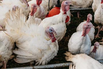 Thanksgiving Turkey's in their coop