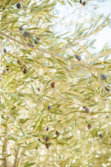 Ripe olive fruits hanging on a branches of olive tree