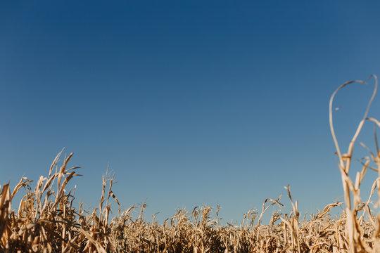 October Corn Field