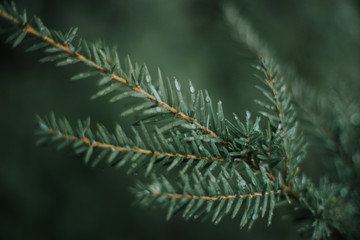 Pine branch with water droplets