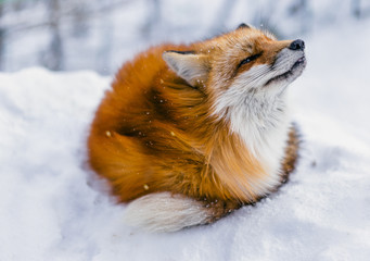 Red fox enjoying mild snowfall