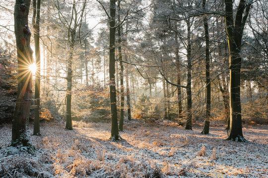 Sunrise in a winter woodland. Norfolk, UK.