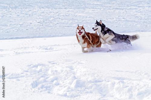 Siberian Husky Dogs Siberian Husky Dogs On White Background