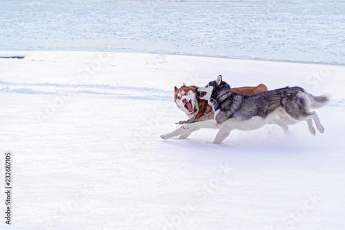 Siberian Husky Winter Happy Husky Dog Run In Snow Beautiful