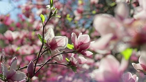 Flowers Of Pink Magnolia Pink Magnolia Pink Magnolia Flowers On