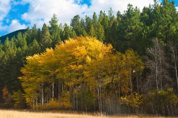 Aspens & firs, Fall