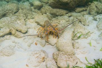 Panulirus argus lobster