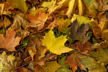 Fallen leaves covered the ground in autumnal forest. Close-up of  yellow leaf of maple on a sunny day. Autumn mood scene. Tilt-shift effect. Soft focus photography. Colorful fall background.
