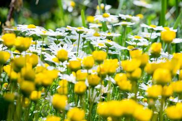 黄色と白の花の庭