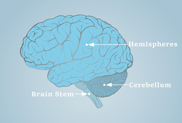 Human brain image with the structures indicated by the arrows, vector illustration