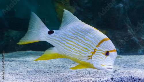 Tropical White Yellow Striped Fish With A Black Spot Vibrant
