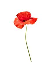 Foto auf Leinwand Mohn Beautiful wild red poppy isolated on white background.