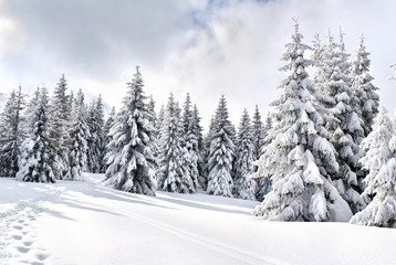 Winter landscape of mountains with path with footprints in snow following in fir forest and glade....