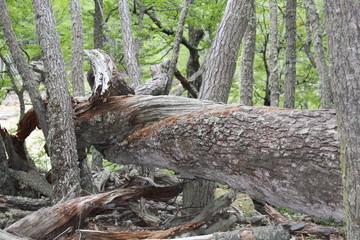 Bent  lying  tree