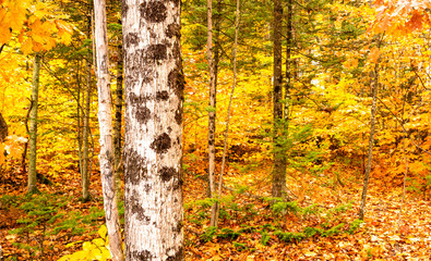 White Bark Thick Tree Fall Color Seasonal Leaves Forest