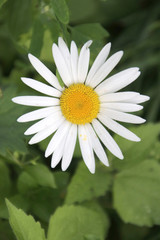Daisy in the sunlight with white leaves and yellow heart