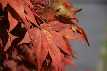 Liquidambar styraciflua or amberwood with lot of different colors leaves during autumn.