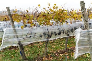 Wall Mural - golden pinot noir grapevines with ripe swet grapes wrapped in plastic foil to protect from weather and animals