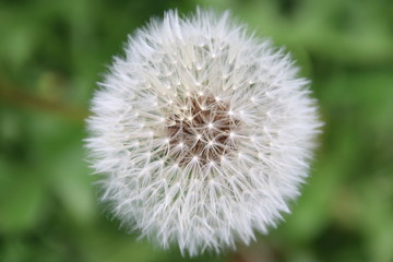 seads of blown dandelion in the A.Vogel garden in 't Harde in the Netherlands