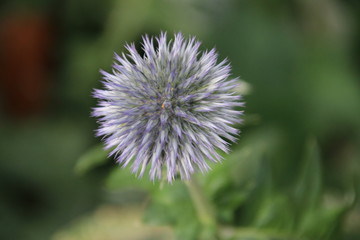Purple flower head of the globe thistle in the A.Vogel garden in 't Harde in the Netherlands