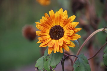 yellow sun flower head  in the A.Vogel garden in 't Harde in the Netherlands