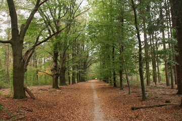 Brown, yellow and orange leaves on trees and on the ground during the autumn season on the Veluwe in the Netherlands.