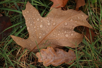 Rain drops on a brown leaf of an oak tree in the forest during autumn