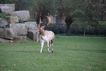 Rutting deer with huge antlers on his head in the deer camp in the Kralingse Bos in Rotterdam, the Netherlands