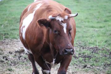 Black and red frysian Bulls on a meadow in Nieuwerkerk aan den IJssel in the Netherlands