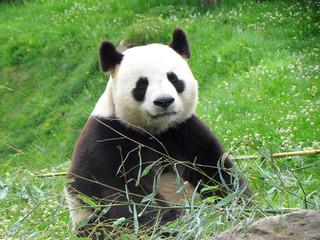 Panda watching a camera during its bamboo meal