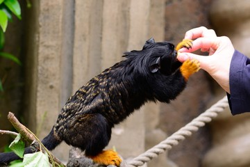 Close up of a red handed tamarin (saguinus midas) feeding from a persons hand
