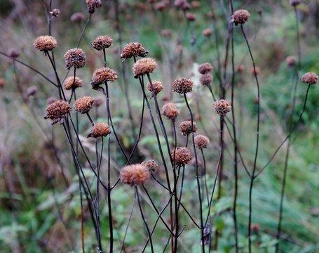 Wild Bergamot (Bee-Balm) in winter