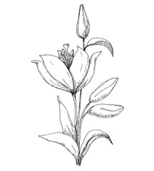 Sketch of flowers. Lily isolated on white background. Vector illustration