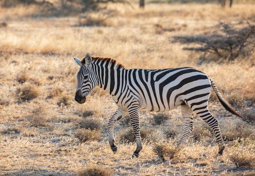 Full body profile portrait of zebra, Equus quagga, running in northern African landscape