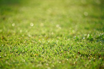Dew droplet on top of green grass in warm morning light