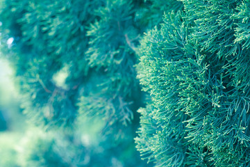 Pine tree, Evergreen juniper background. Christmas and Winter wallpaper