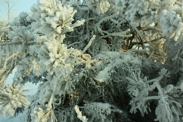 frost on the branches