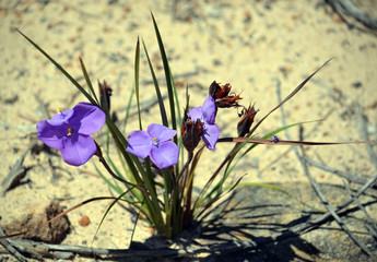 Australian native silky purple flag iris wildflowers, Patersonia sericea, family Iridaceae, flowering in spring along the Little Marley firetrail, Royal National Park, Sydney, NSW, Australia
